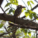 Image of Russet-throated Puffbird