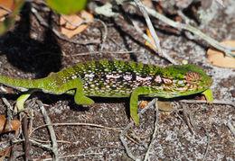 Image of Giant Carpet Chameleon