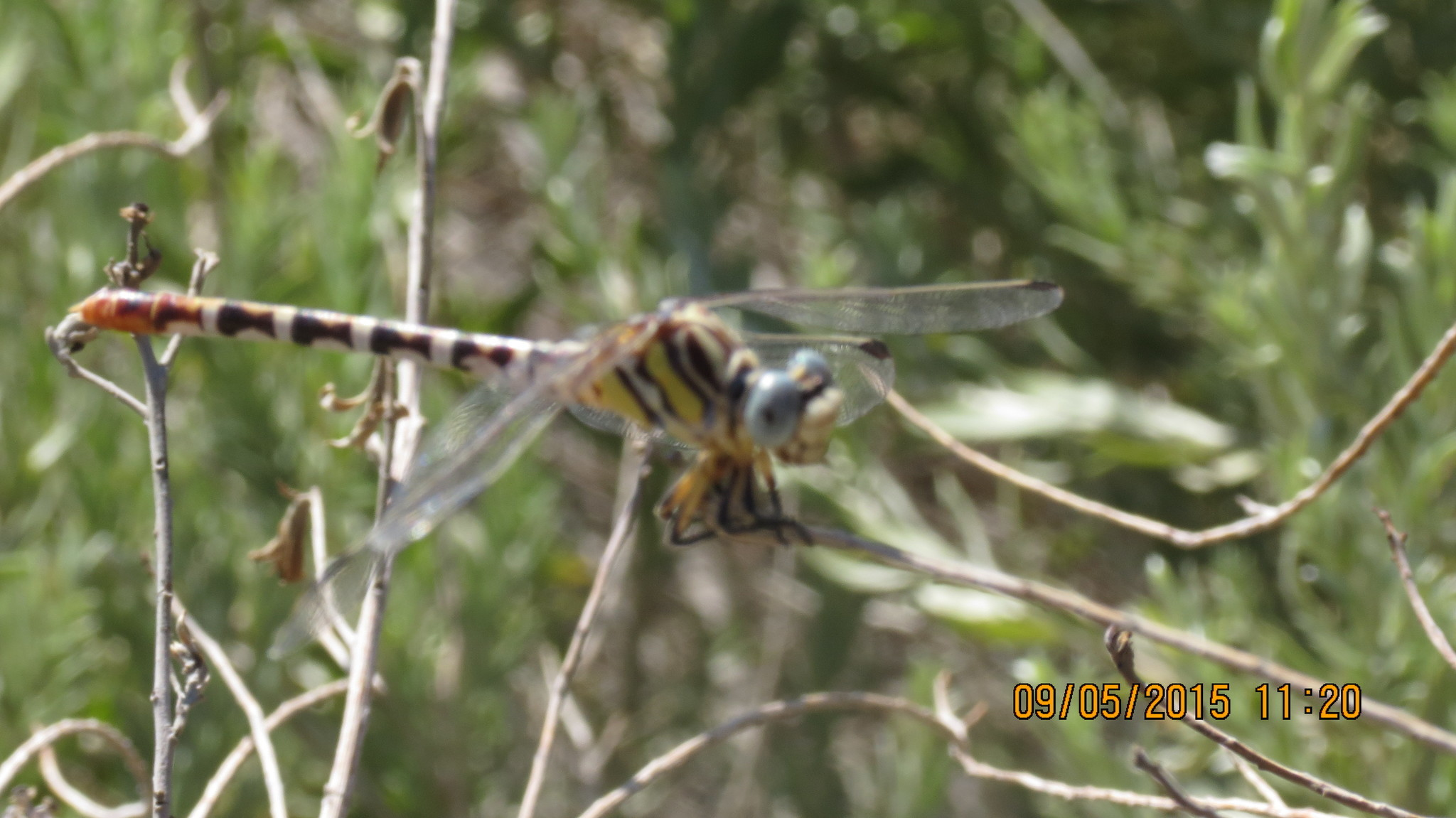 Image of White-belted Ringtail
