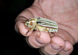 Image of Ten-lined June Beetle