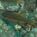 Image of Apogon chrysotaenia