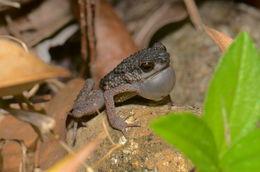 Image of Kina Balu Stream Toad