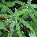 Image of <i>Adiantopsis radiata</i>
