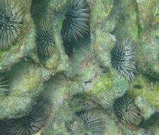 Image of Burrowing urchin