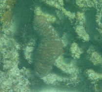 Image of <i>Actinopyga mauritiana</i> (Quoy & Gaimard 1834)