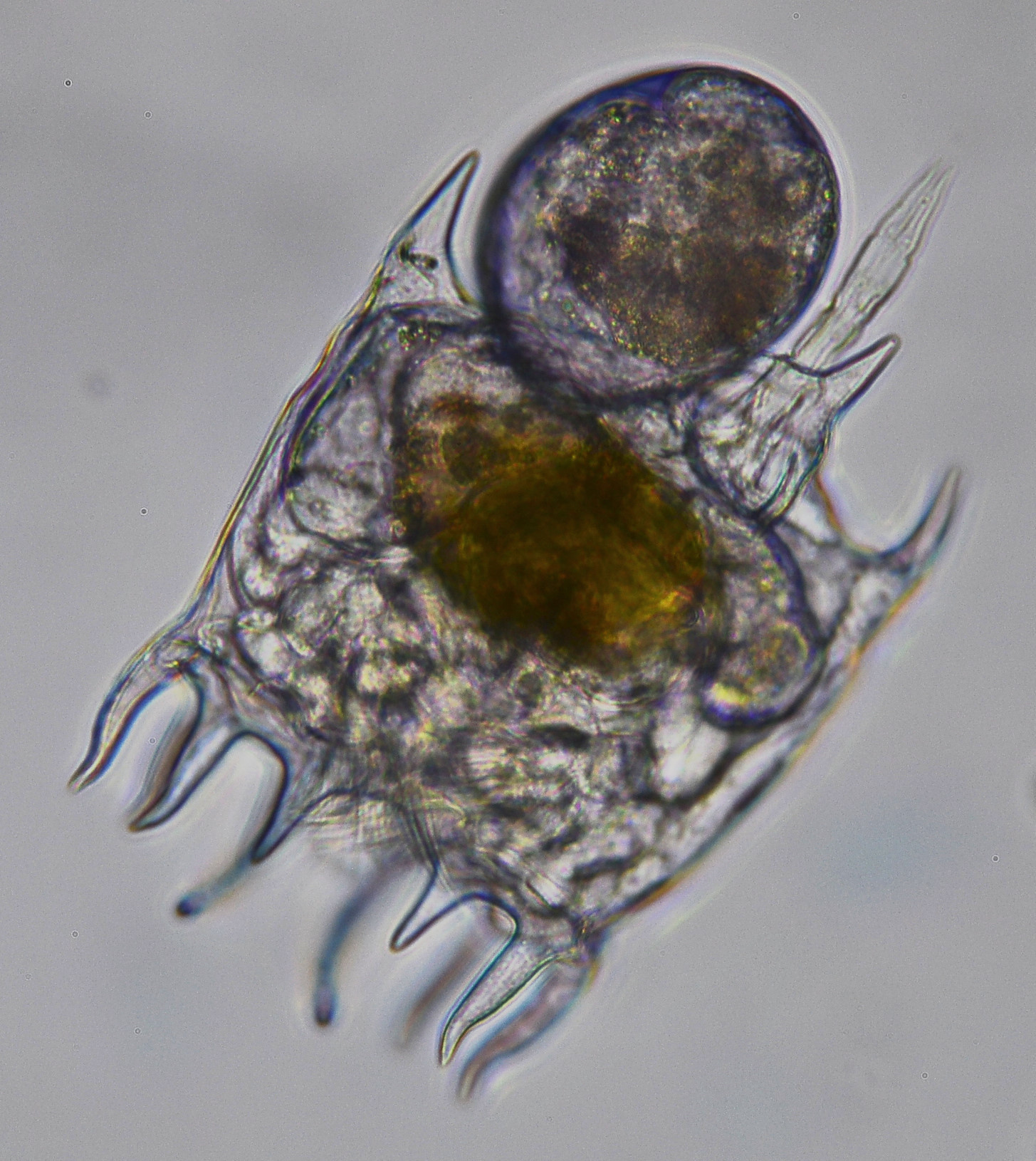 Image of <i>Platyias patulus</i>