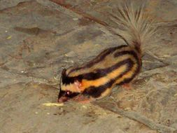 Image of Pygmy Spotted Skunk