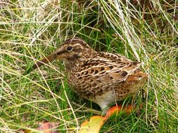 Image of Auckland Snipe