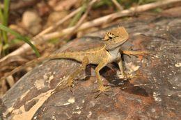 Image of Forest Garden Lizard