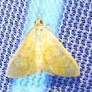 Image of <i>Loxomorpha flavidissimalis</i>
