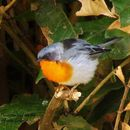 Image of Flame-throated Warbler
