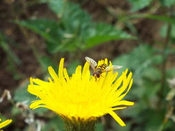 Image of Common Banded Hoverfly