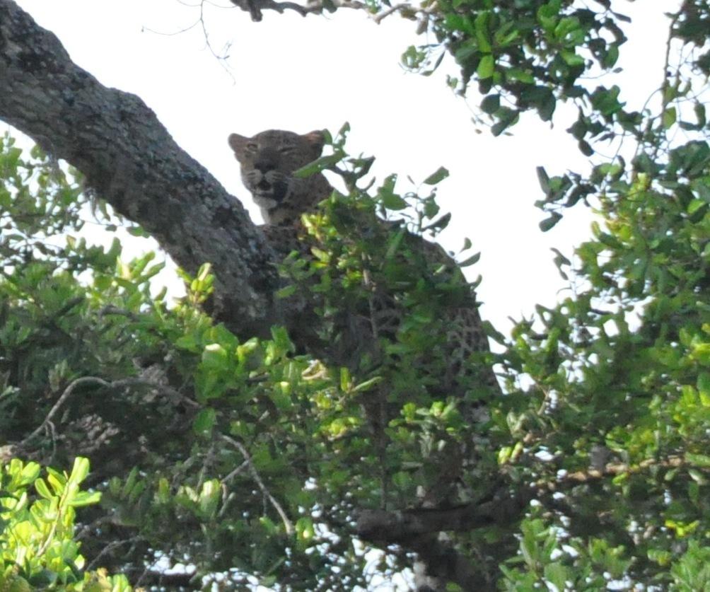 Image of Sri Lankan leopard