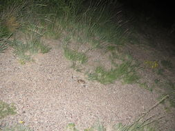 Image of Banner-tailed Kangaroo Rat