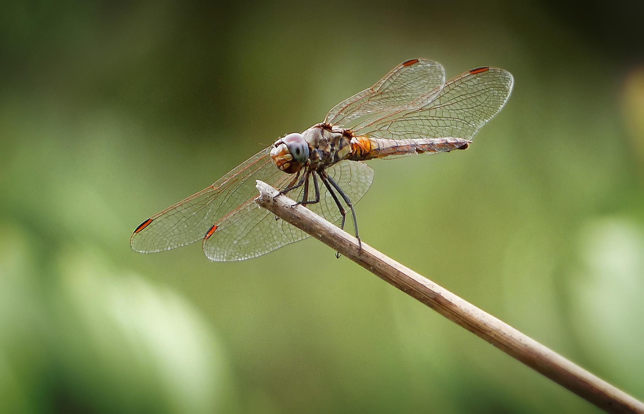 Image of Violet Dropwing