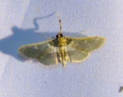 Image of <i>Apilocrocis brumalis</i> Barnes & Mc Dunnough 1914