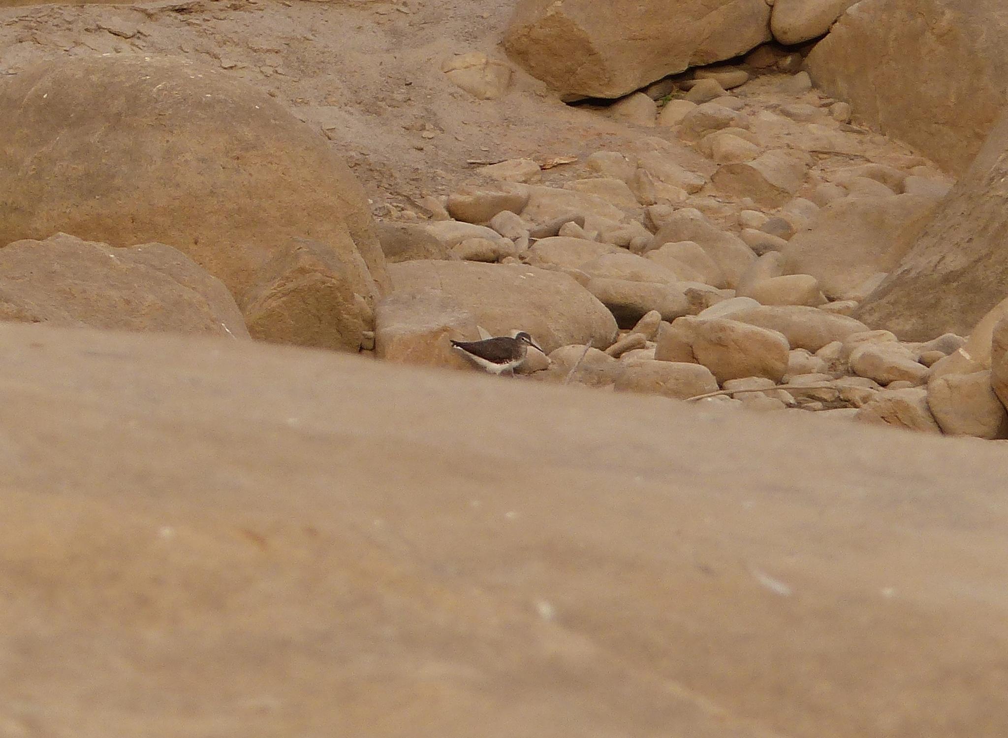 Image of Green sandpiper