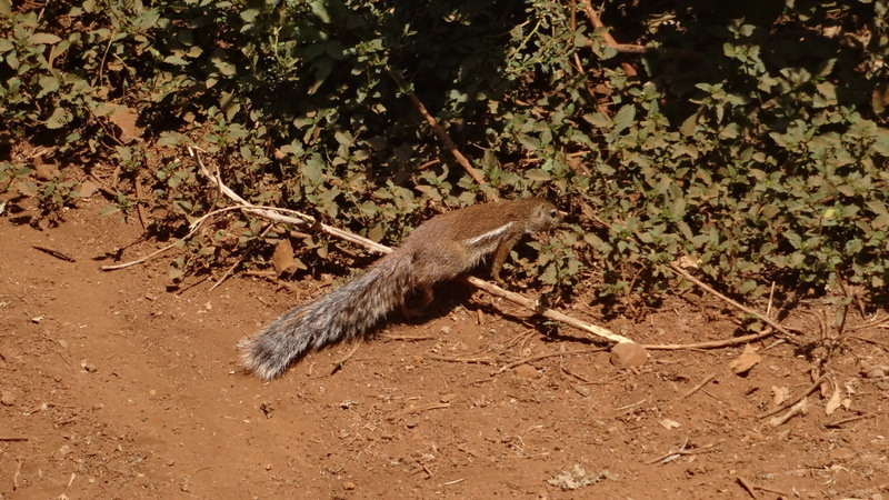 Image of Geoffroy's Ground Squirrel