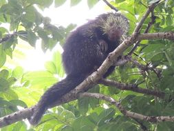 Image of Mexican Hairy Porcupine