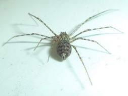 Image of Spitting spider