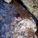 Image of Red Turnip Beetle