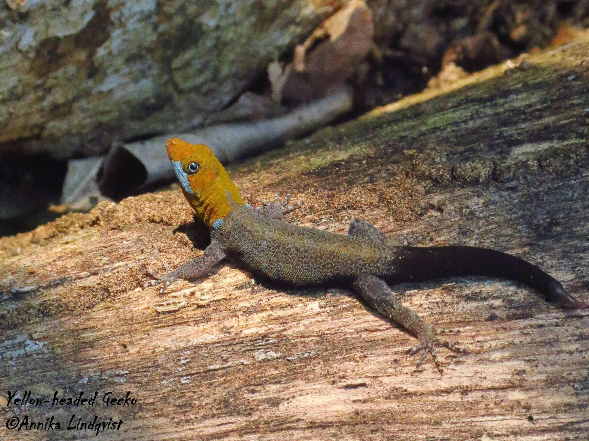 Image of Yellowhead gecko
