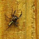 Image of Jumping spider