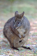 Image of red-bellied pademelon