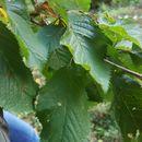 Image of <i>Prunus avium</i>