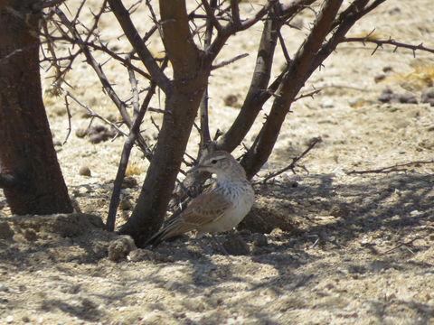Image of Karoo Long-billed Lark