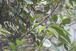 Image of Gold-ringed Tanager