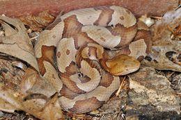 Image of <i>Agkistrodon contortrix mokasen</i> Palisot De Beauvois 1799