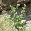 Image of <i>Acourtia thurberi</i>