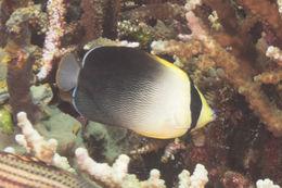 Image of Greytail angelfish