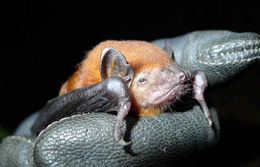Image of Nut-colored House Bat