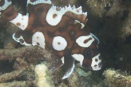 Image of <i>Plectorhinchus chaetodonoides</i>