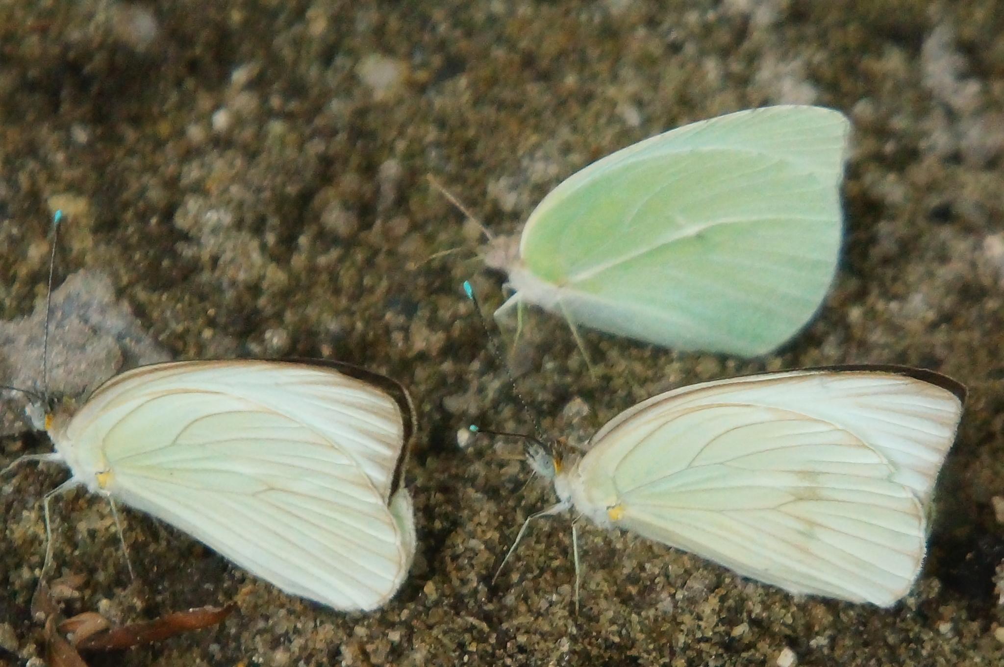 Image of <i>Ascia <i>monuste</i></i> ssp. monuste