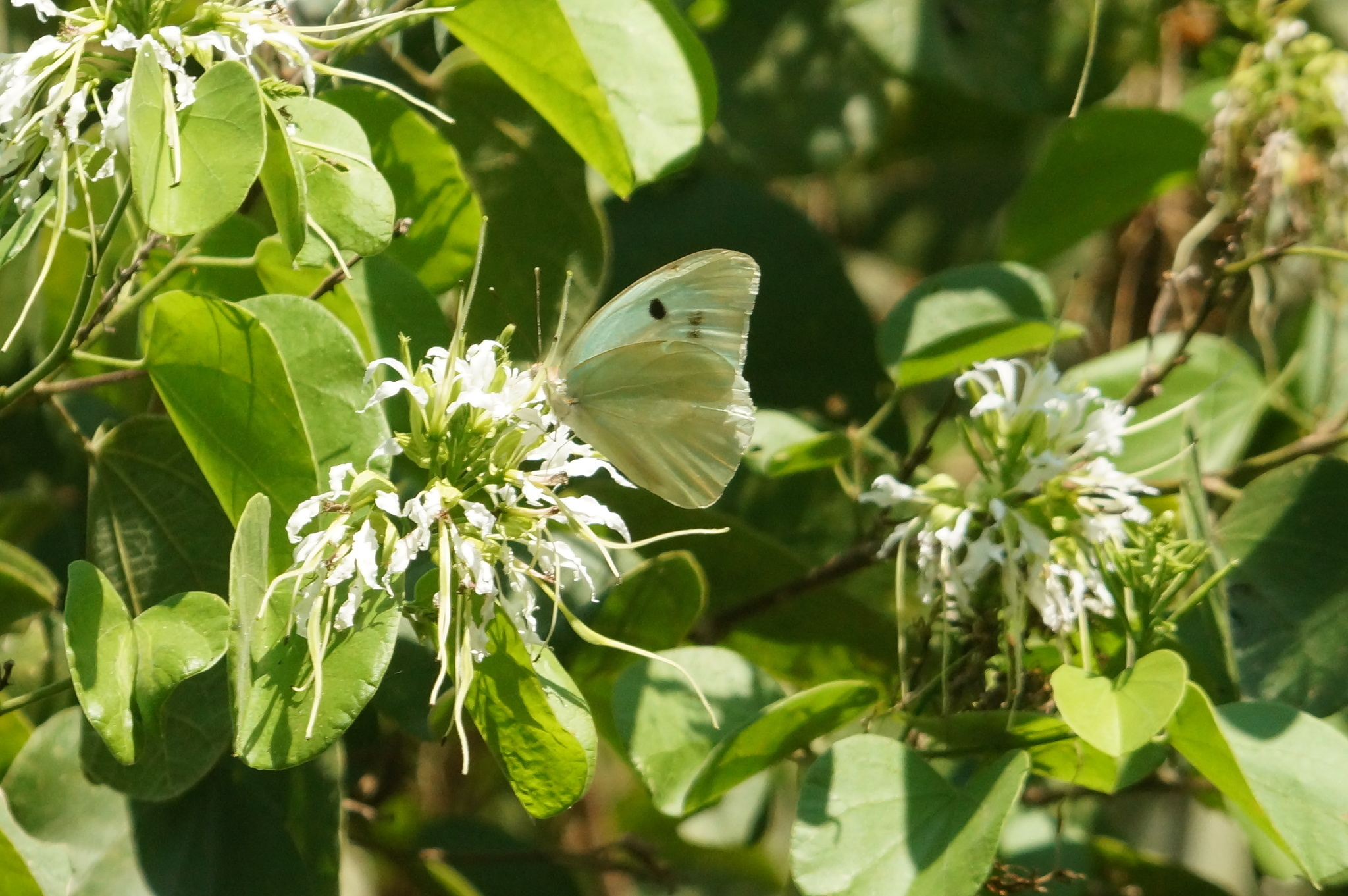 Image of <i>Ganyra josephina</i> ssp. <i>josepha</i> (Salvin & Godman 1868)