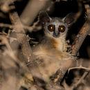 Image of Somali Bushbaby