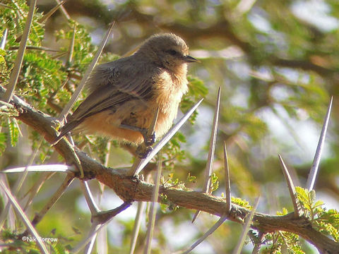 Image of African Penduline-Tit