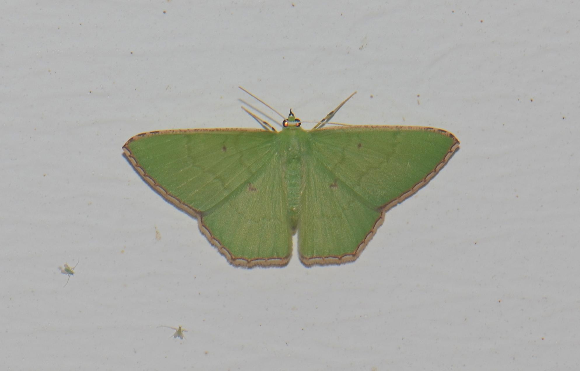 Image of <i>Ornithospila submonstrans</i> Walker 1861