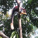 Image of Indian Giant Squirrel