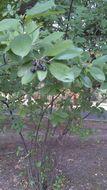 Image of <i>Aronia melanocarpa</i>