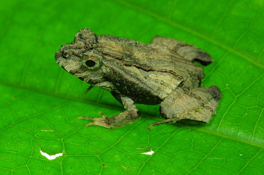 Image of Perez's Snouted Frog