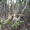 Image of <i>Epidendrum nocturnum</i>