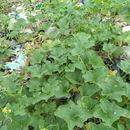 Image of <i>Cucumis melo</i>