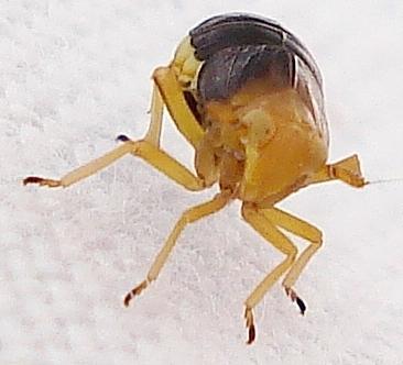 Image of <i>Ditropis pteridis</i> (Spinola 1839)