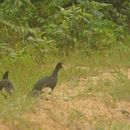 Image of Black curassow