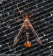 Image of <i>Synanthedon acerni</i>