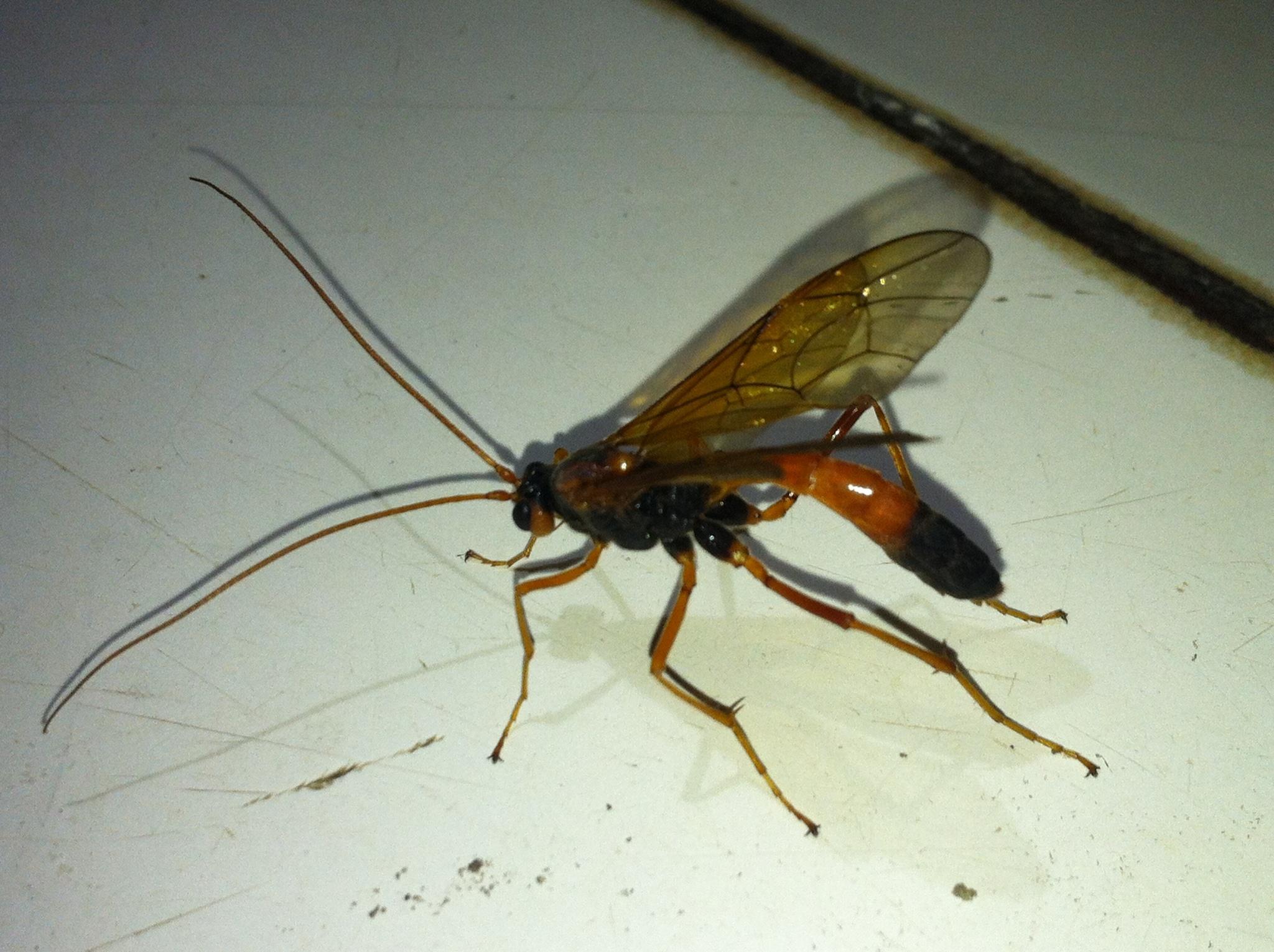 Image of <i>Opheltes glaucopterus</i>